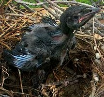 raven chick ugly
