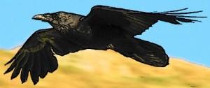 raven flying 2