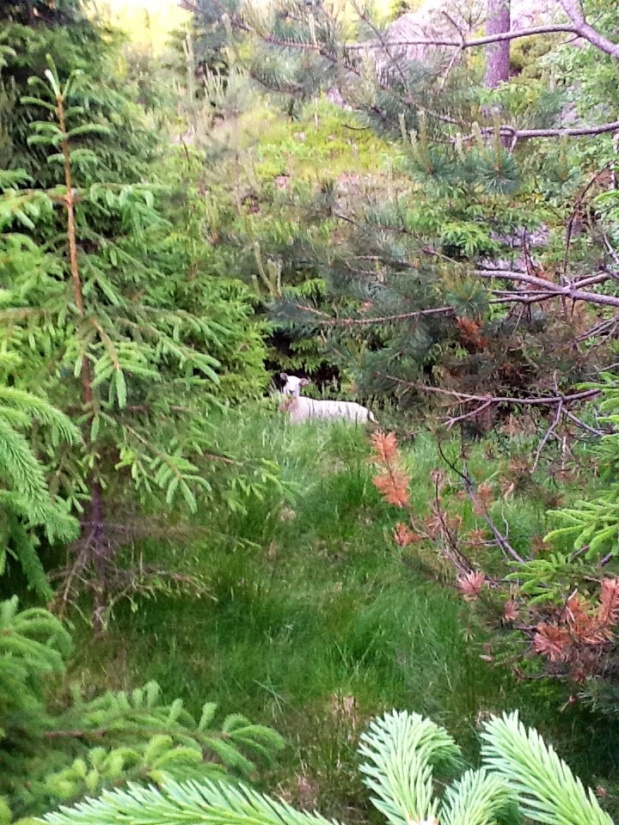 A Norwegian Sheep Enjoying Summer in the Forest – Our Answer to Cee's Photo Challenge, Nature Animals
