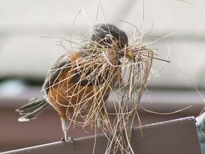 Bird building a nest on roof-bartramsgarden.org